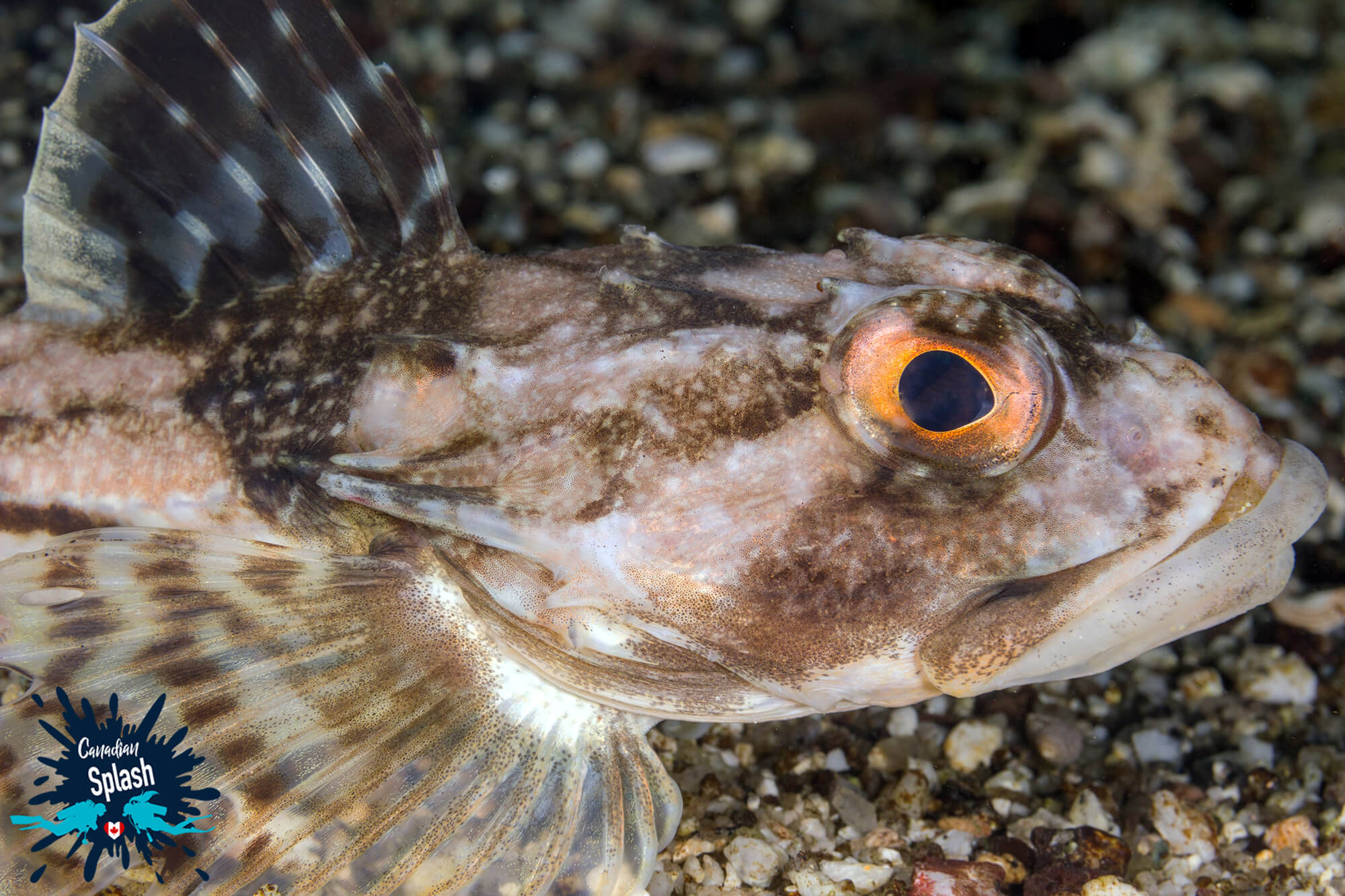 A side View from Underwater of a Grey and Brown Sculpin with Orange Eyes in Halifax, Nova Scotia, Canada's East Coast