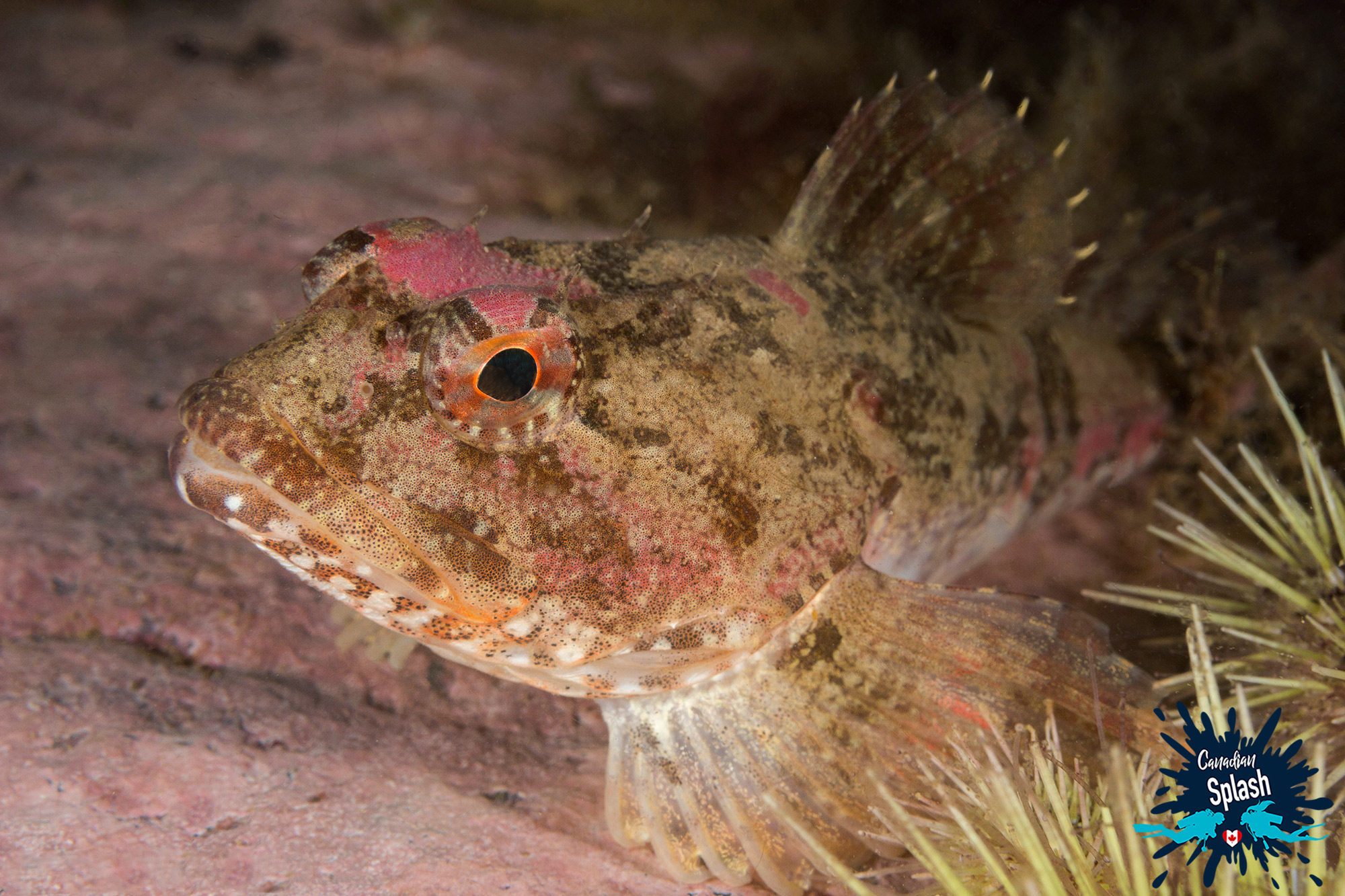 Sculpin On A Rock Coated In Coralline Algae In The Bay Of Fundy, Deer Island, NB