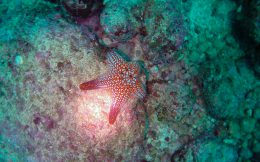 A Panamic Cushion Star on the Bottom of the Ocean