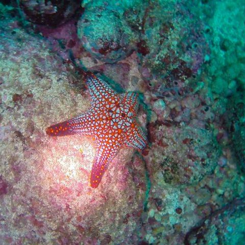 A Panamic Cushion Star on the Bottom of the Ocean