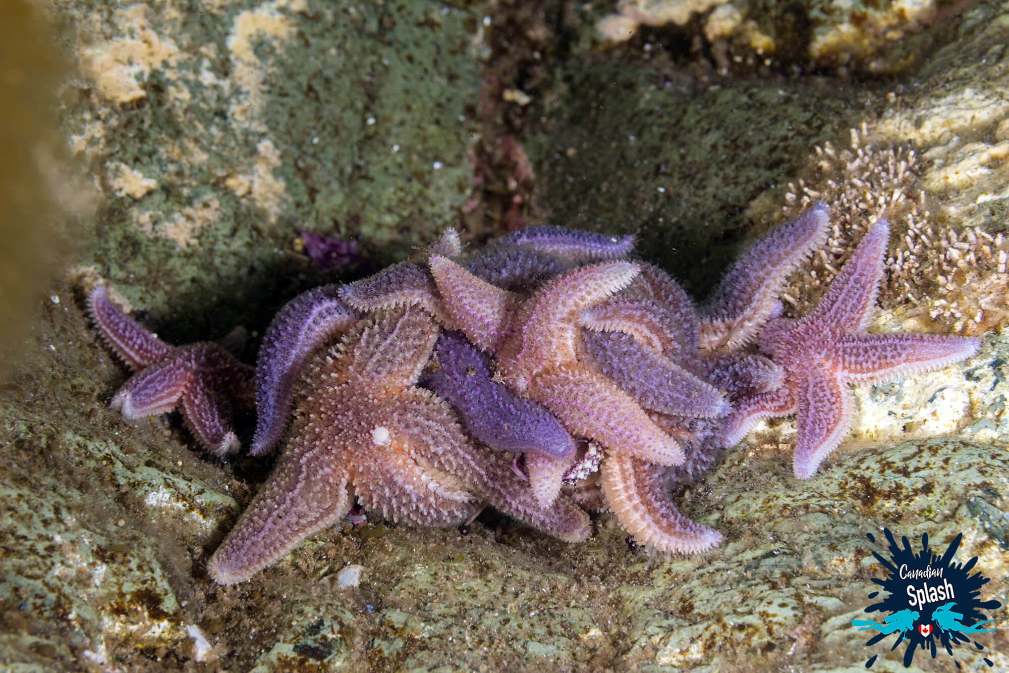 Sea Star's Collecting Together on the Bottom of Conception Bay, Newfoundland Shore Diving