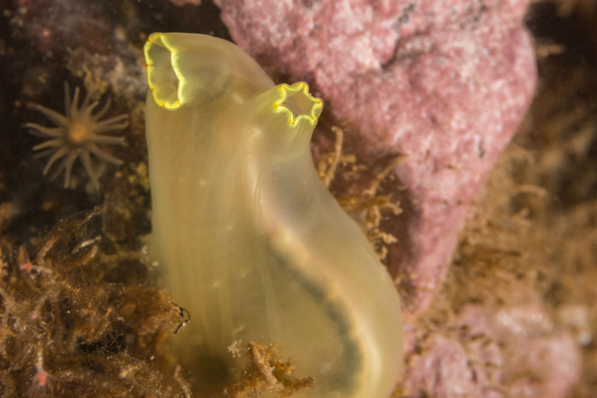A Translucent Sea Vase Seen While Scuba Diving in New Brunswick's Bay of Fundy