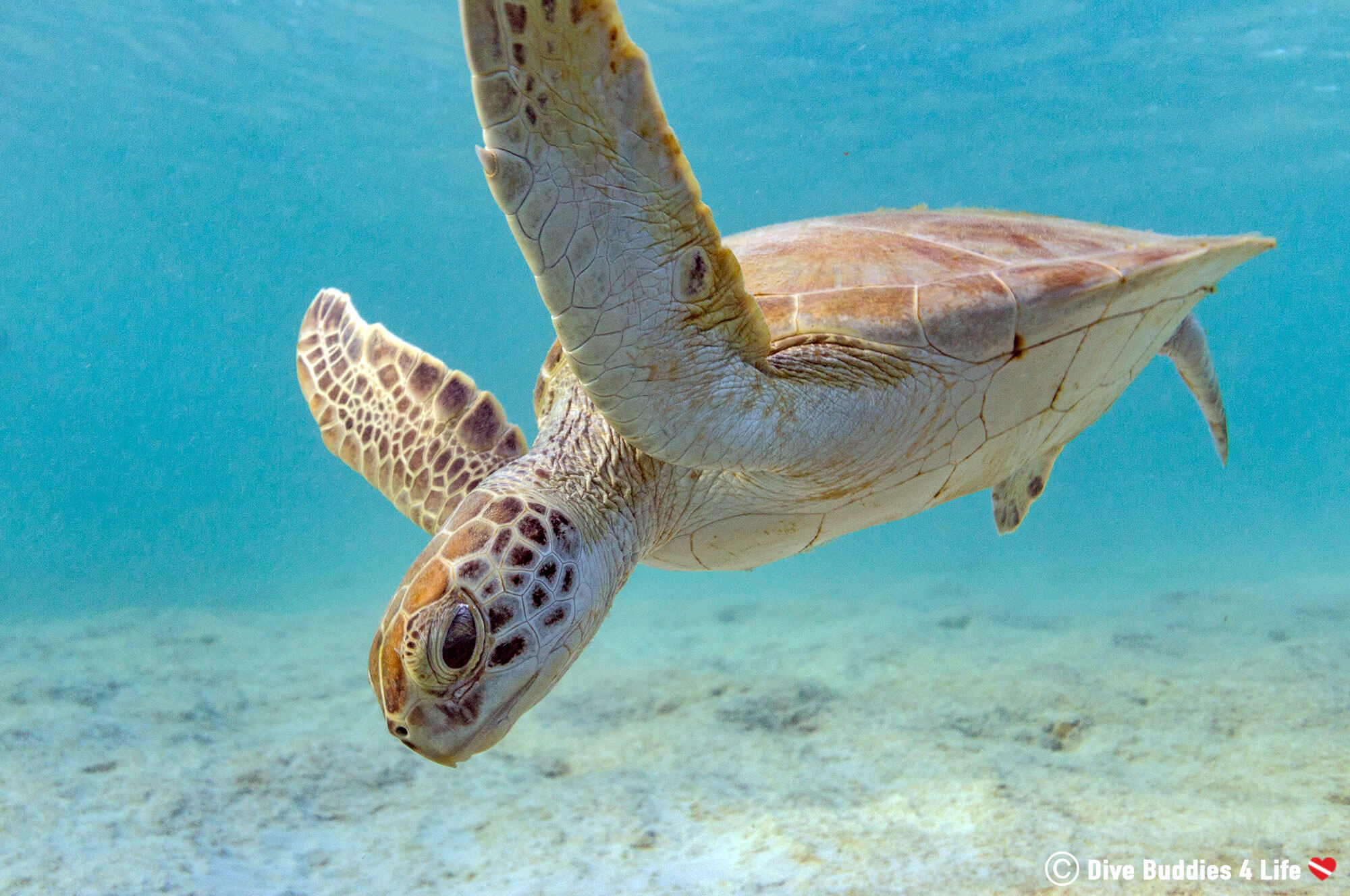 Sea Turtle Swimming In The Blue Waters Of Bonaire, Caribbean