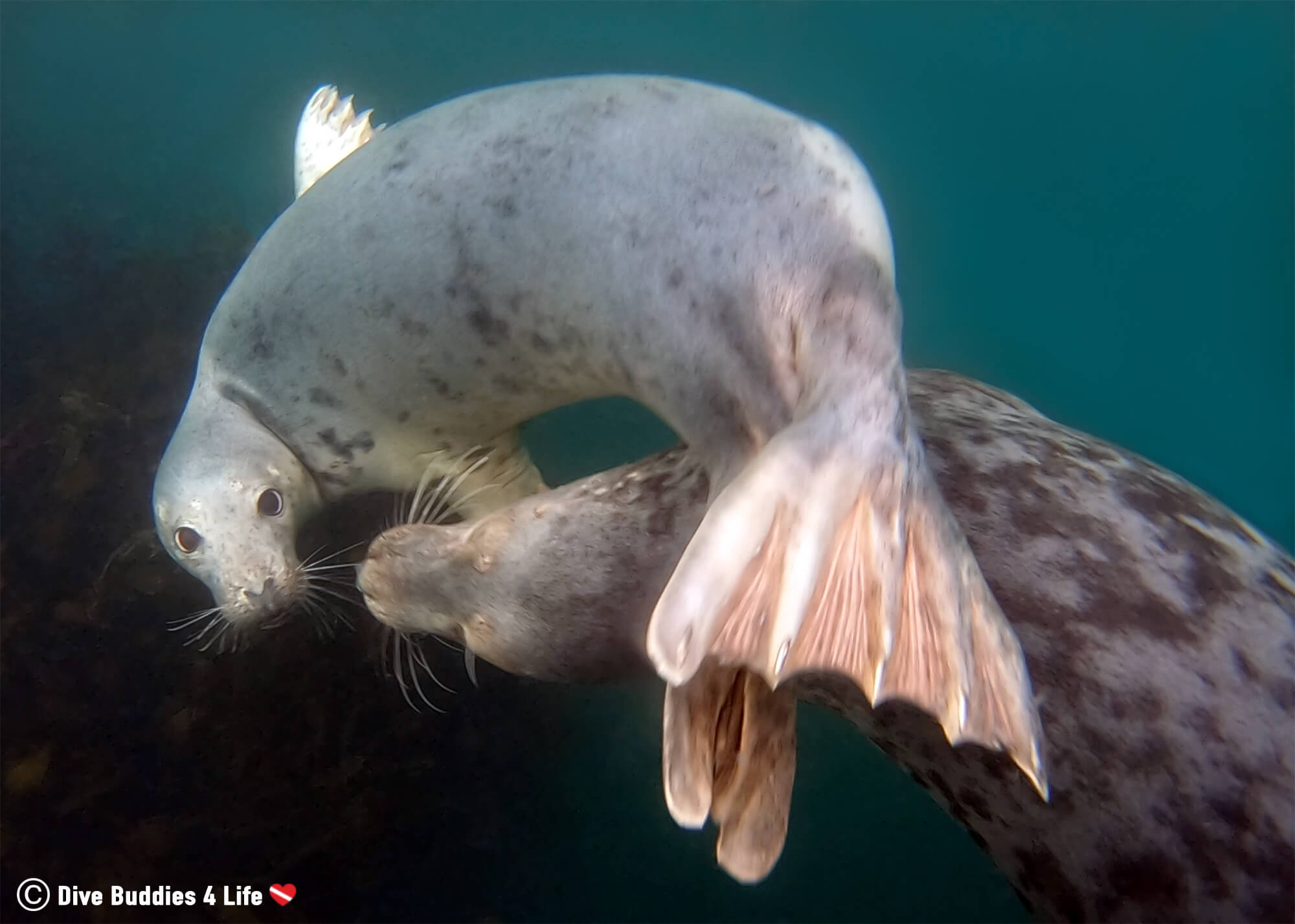 Seal Spinning Under The Water Together At The Farne Islands, England, UK