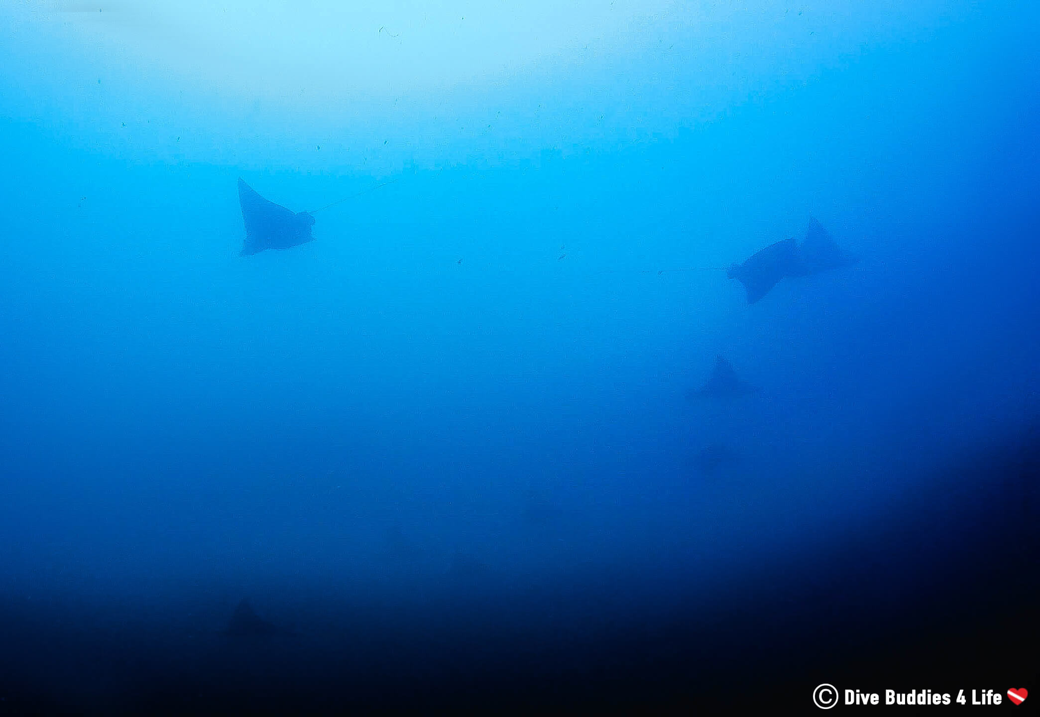 Several Eagle Rays Swimming In The Distance At Bat Island, Costa Rica