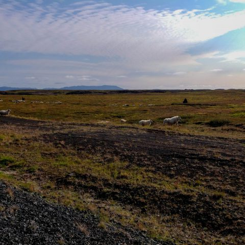 Icelandic Sheep in a Dirt Road in Northern Iceland