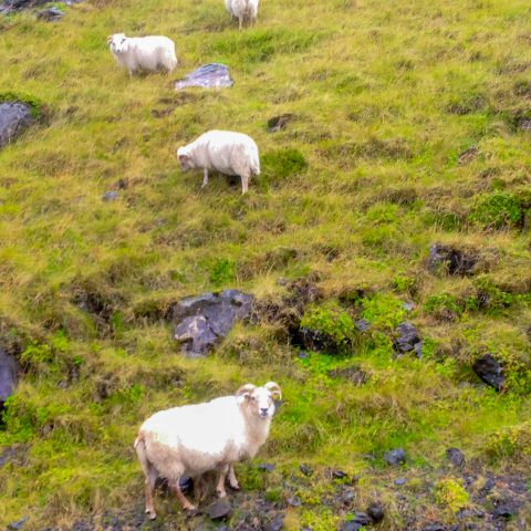 Icelandic Sheep on a Hill