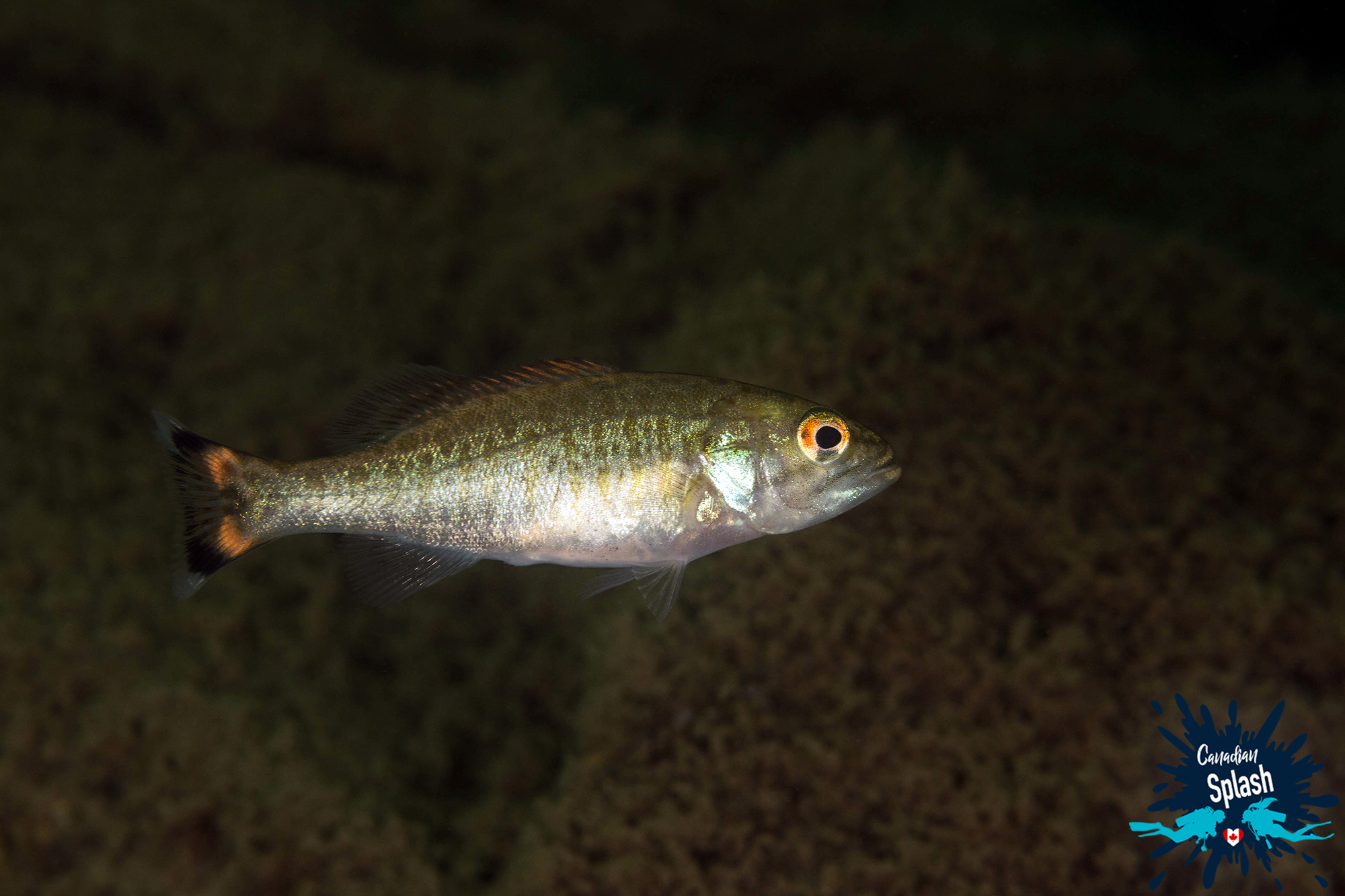 Shiny Orange Eye And Tailed Bass Fish In Cassels Lake, Scuba Diving Temagami, Northern Ontario, Canada Diving