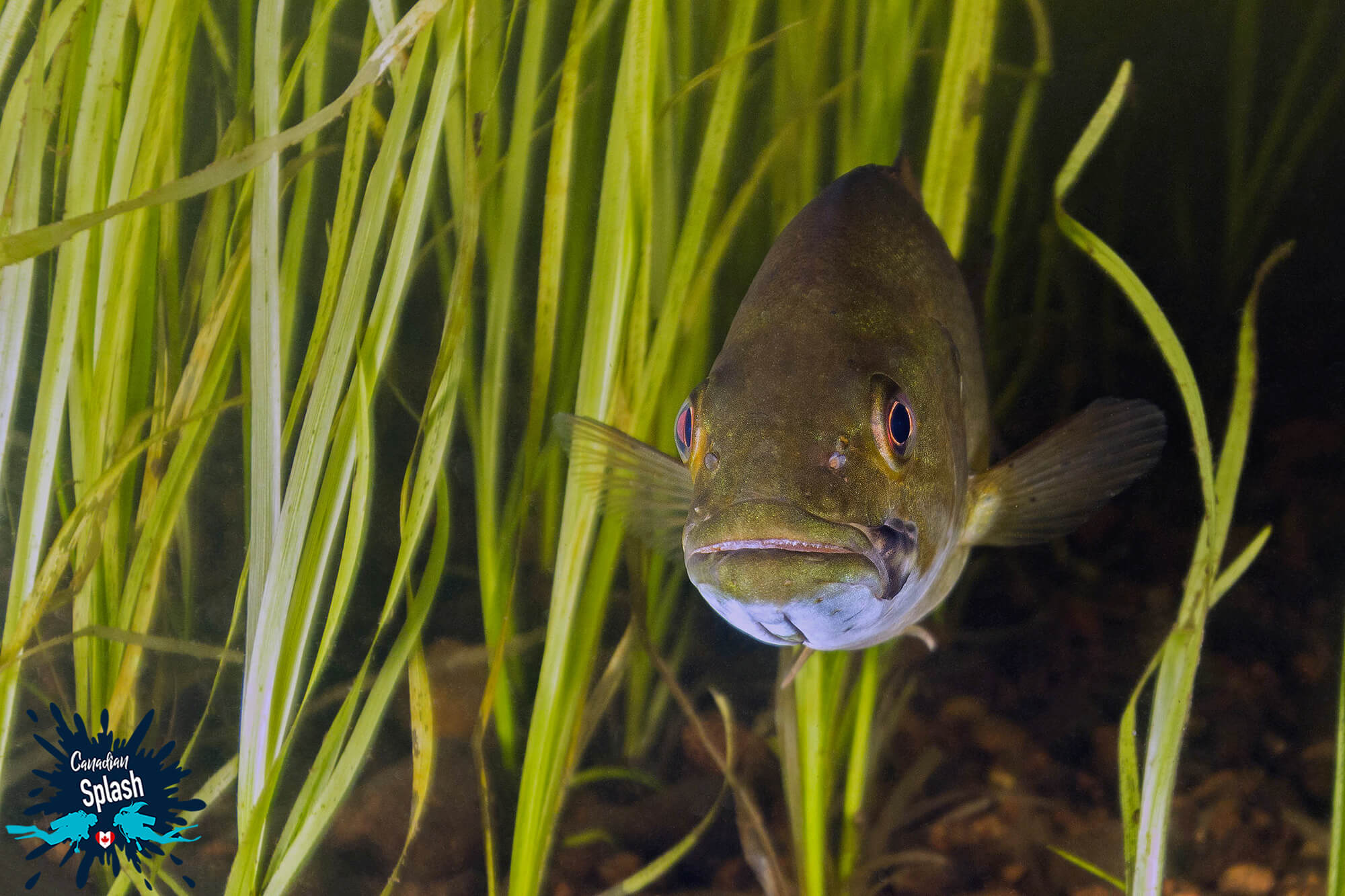 Small Mouth Bass Underwater In The Green Sea Grass Of Samuel De Champlain Provincial Park, Ontario, Scuba Diving Canada