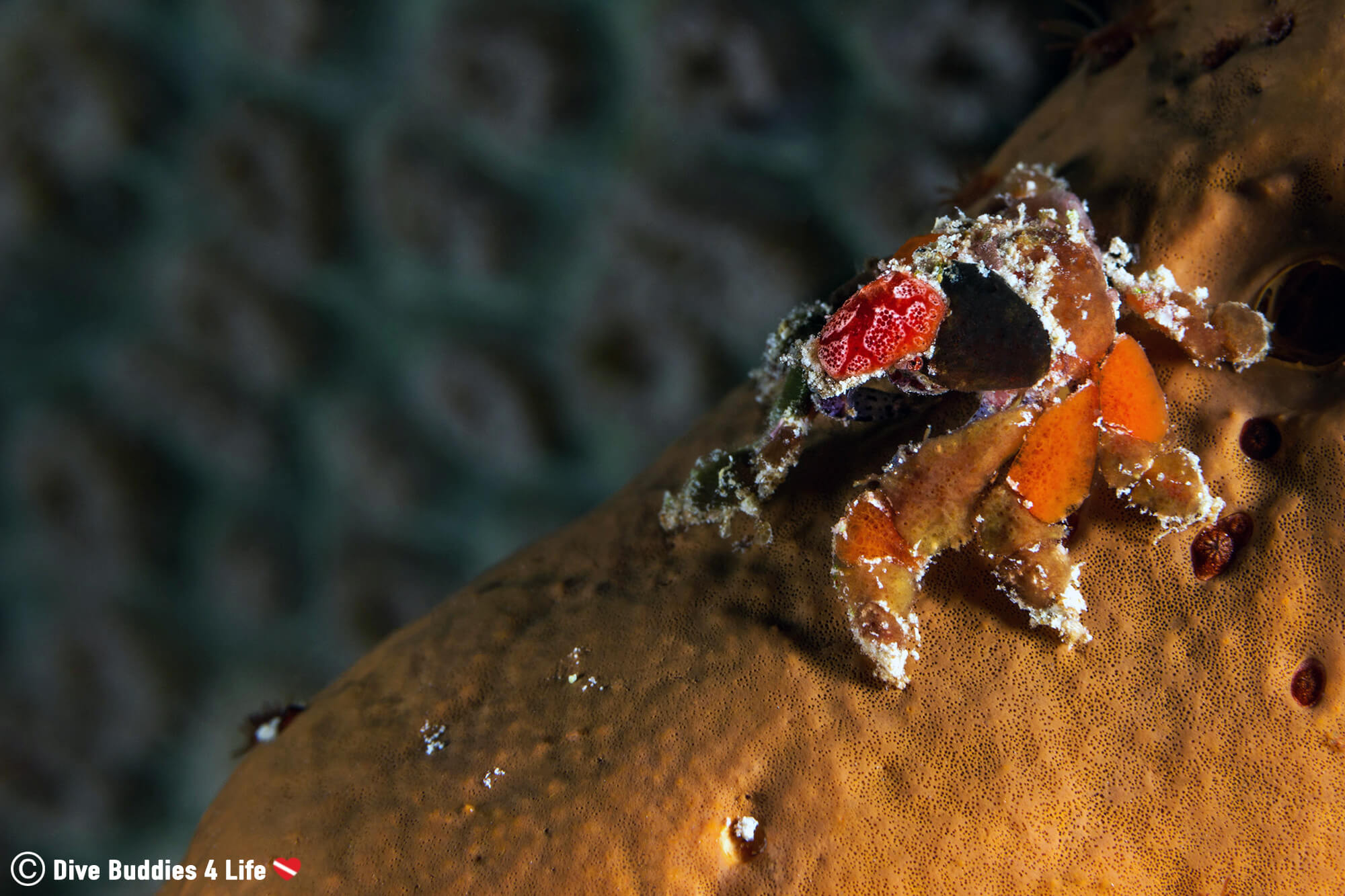 Small Sponge Crab Underwater In Bonaire, Scuba Diving The Dutch Caribbean