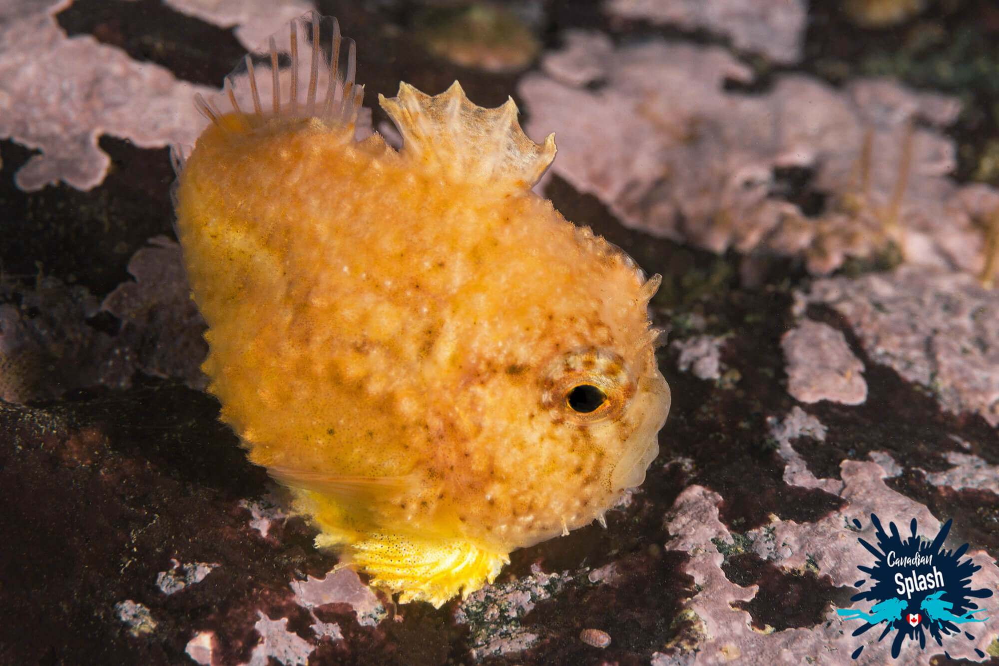 Small Yellow Spiny Lumpsucker On A Rock Diving In St Margarets Bay, Nova Scotia, Canadian Splash Scuba Diving