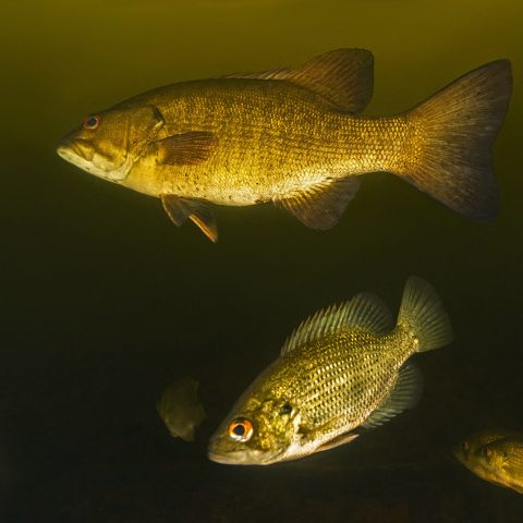 Some Bass And Perch In Temagami Lake, Finlayson Point Provincial Park, Ontario Parks, Scuba Diving Canada