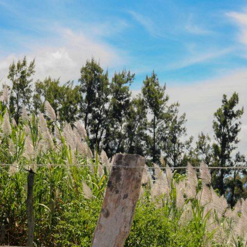 Some Costa Rican Sugar Cane Stalks