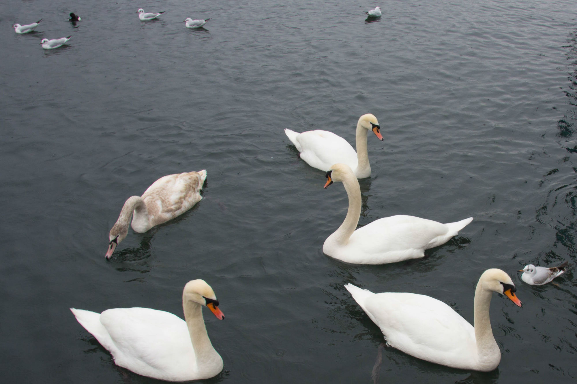 Some Swans On The Lakes Of Switzerland