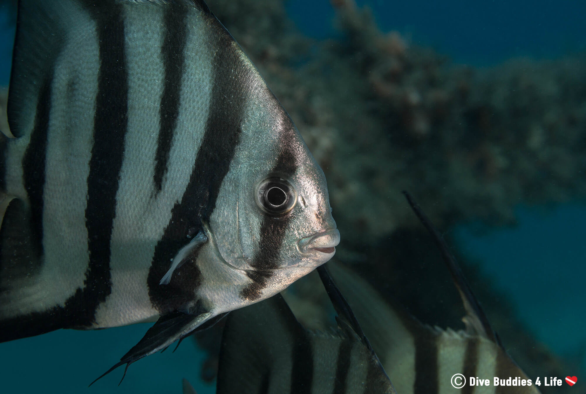 Spadefish Swimming Underwater At BHB Shore Diving Site In The USA