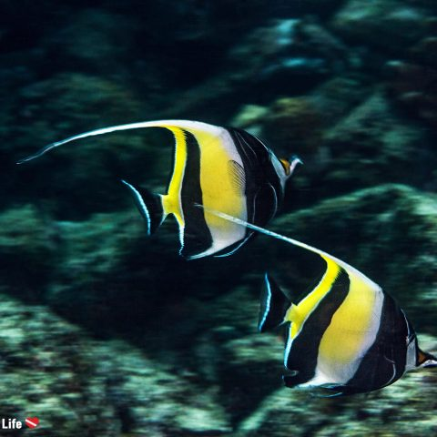 Speeding Moorish Idols With A Blurred Underwater Background, Zihuatanejo, Mexico