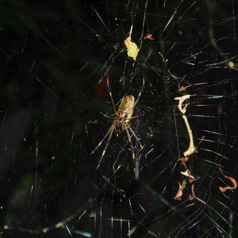 A Costa Rican Jungle Spider in a Web