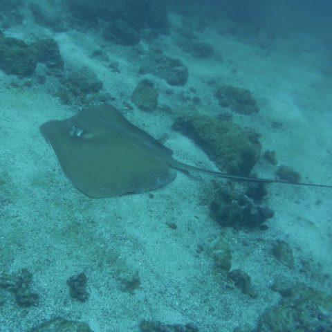 A Large Sting Ray on Bottom of the Costa Rican Pacific Waters