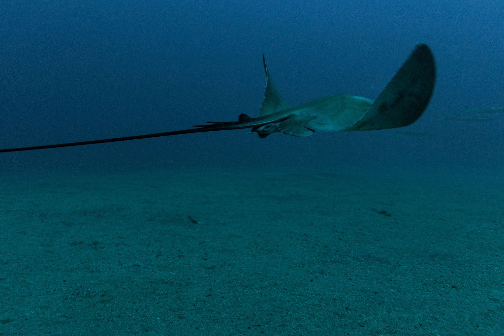 A Swimming Stingray see on our dive in the Azores islands