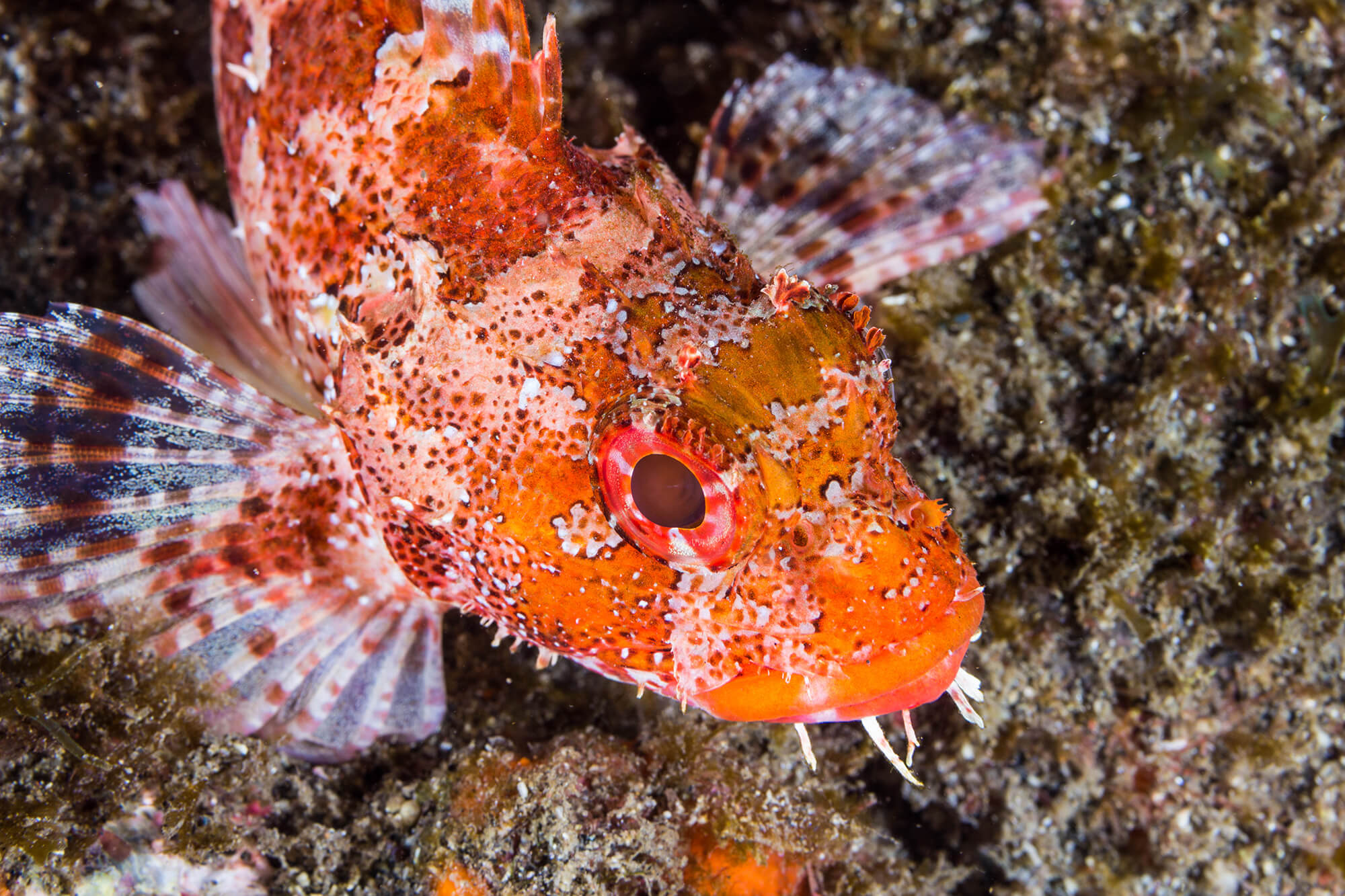 Colourful Stonefish In The Azores