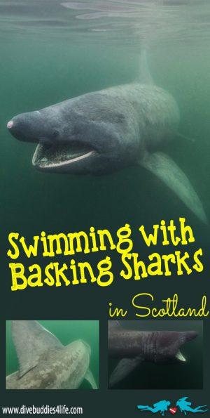 Swimming With Basking Shark In Scotland Pinterest