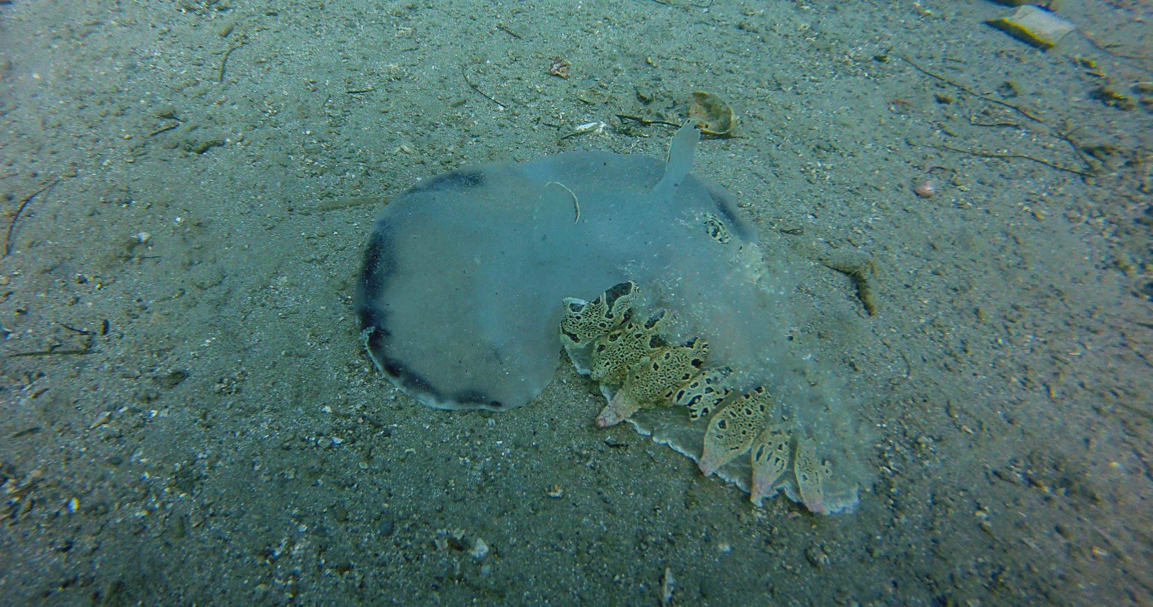Tethys Sea Slug in Slovenia
