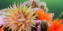 The Colourful And Critter Filled World Of Les Escoumins Diving Location, Northern Quebec, Canada