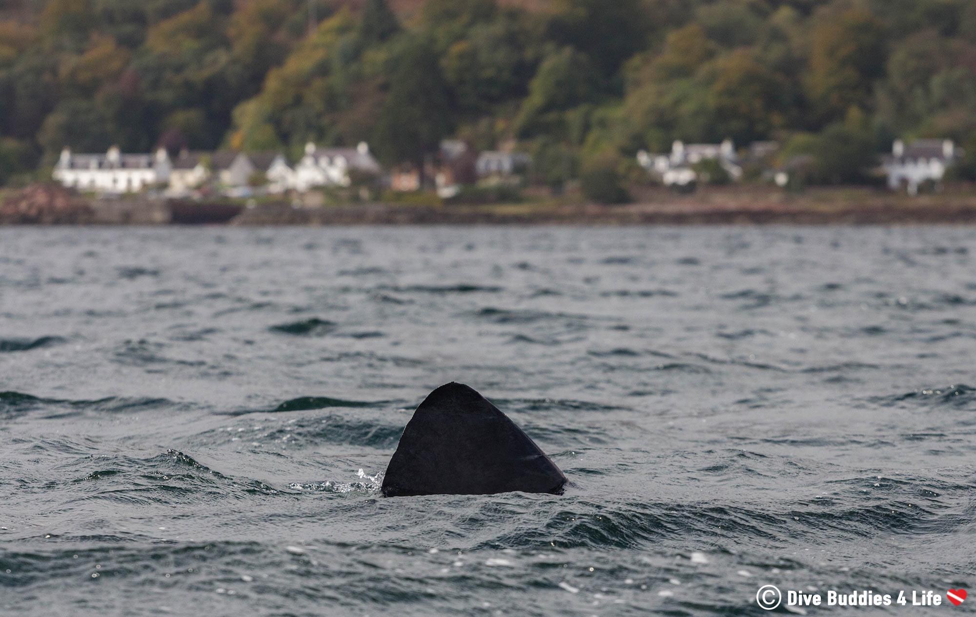 The Dorsal Fin Of A Basking Shark Along The Coast Near The Isle Of Arran, Scotland, UK Adventures