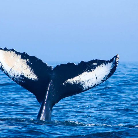 The Fluke Of A Humpback Whale In The Bay Of Fundy, Canada's Ocean Playground