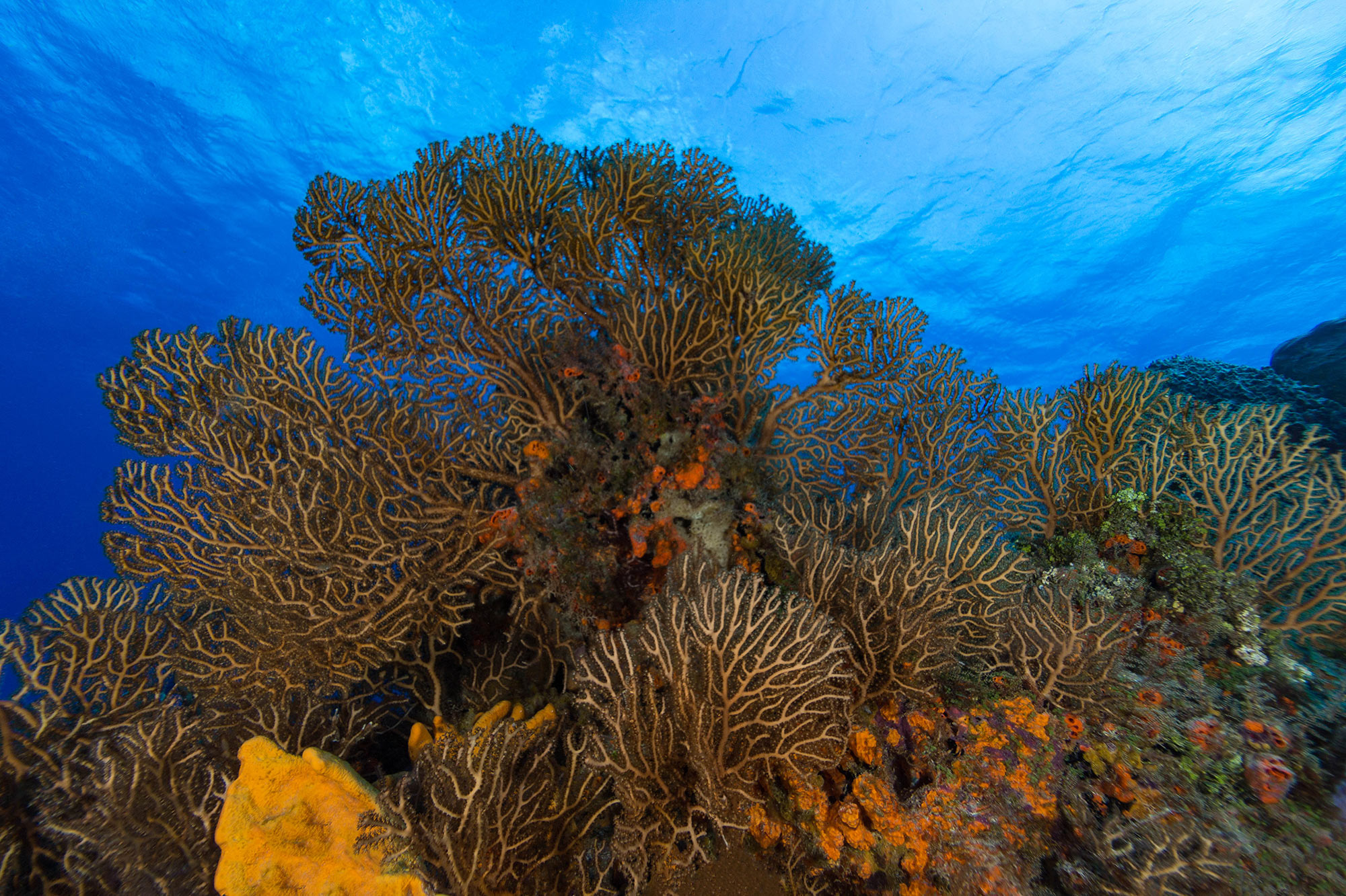 The Gorgonian Coral Gardens Of Cozumel, Mexico