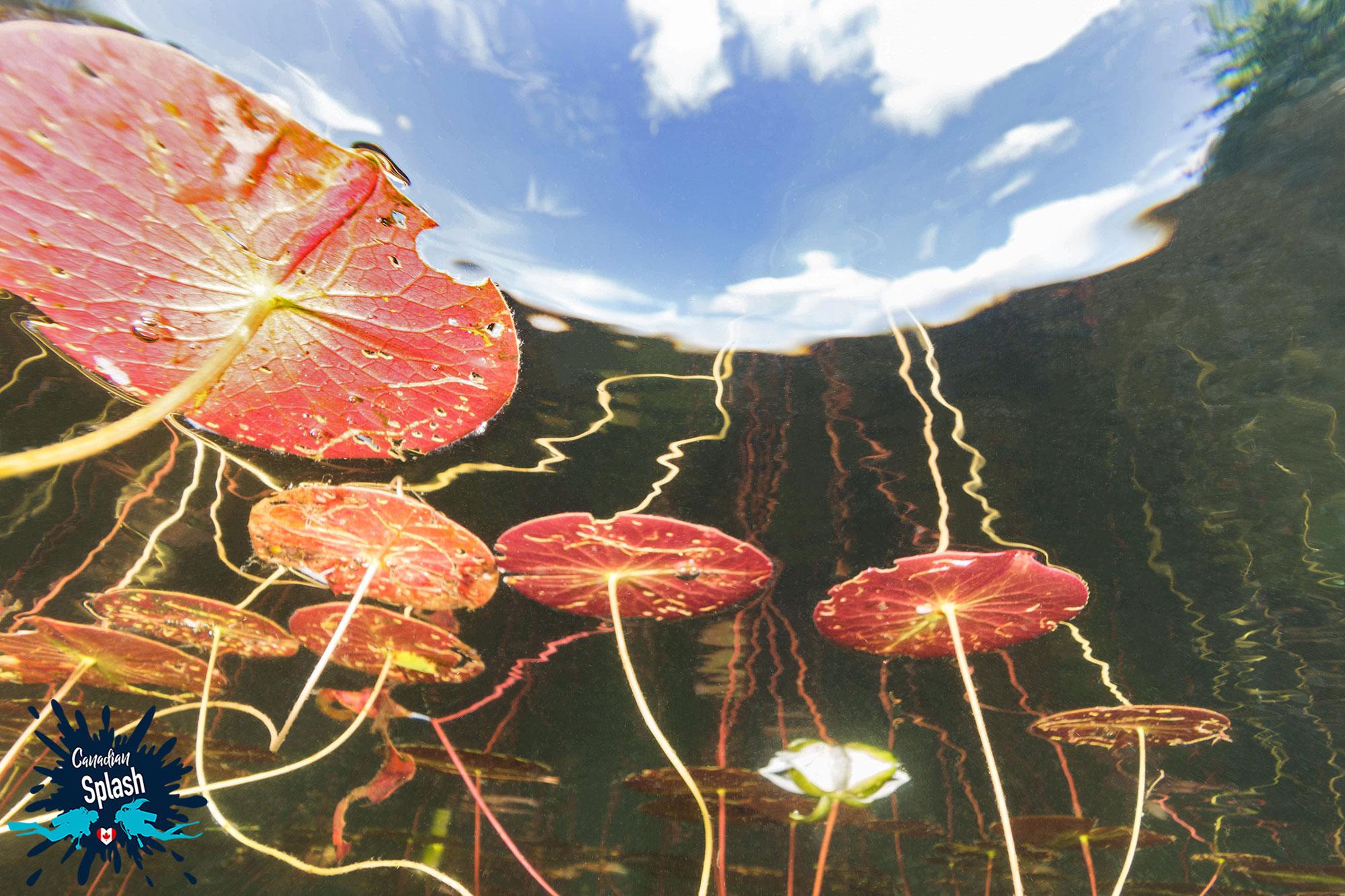The Lily Pads In The Wetlands Of Lake Temagami, Scuba Diving Ontario, Canada