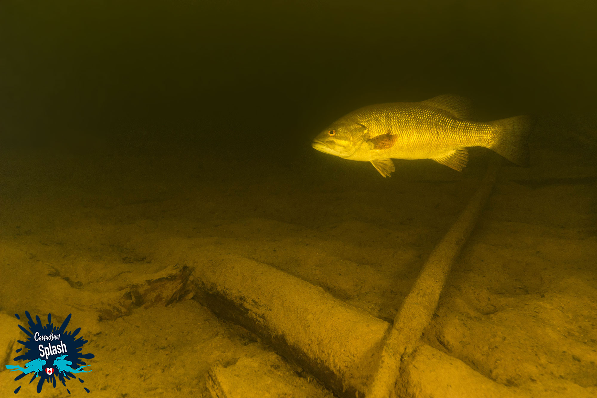 The Muddy Bottom Of Rabbit Lake, Sunken Logs And A Bass Swimming, Temagami, Northern Ontario Scuba Diving, Canada