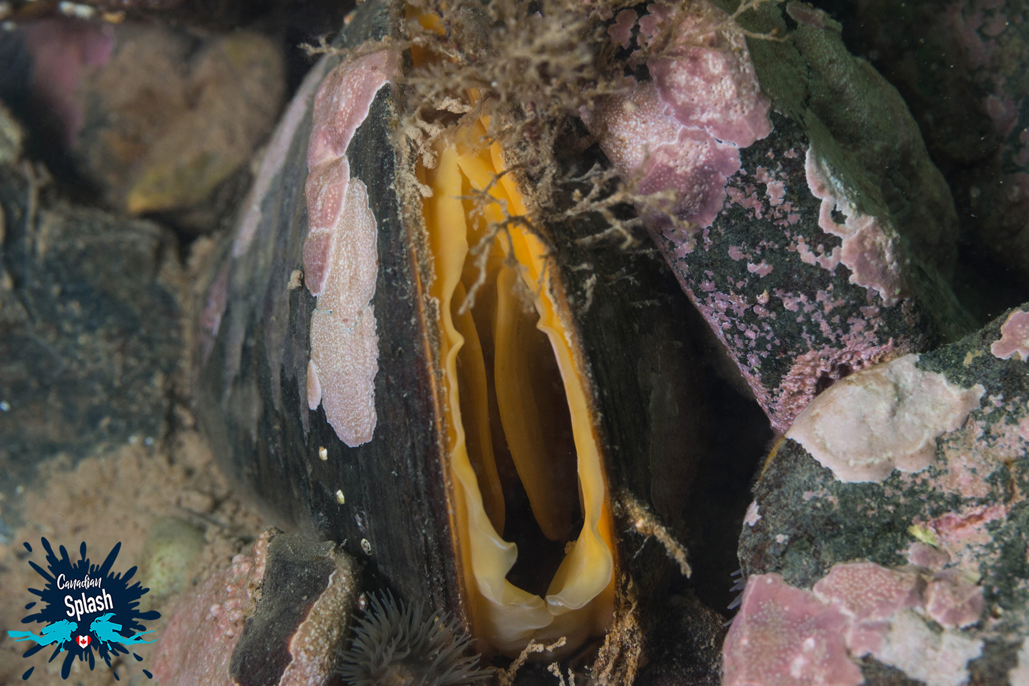 The Opening Of A Saltwater Mussel On The East Coast Of Canada, New Brunswick