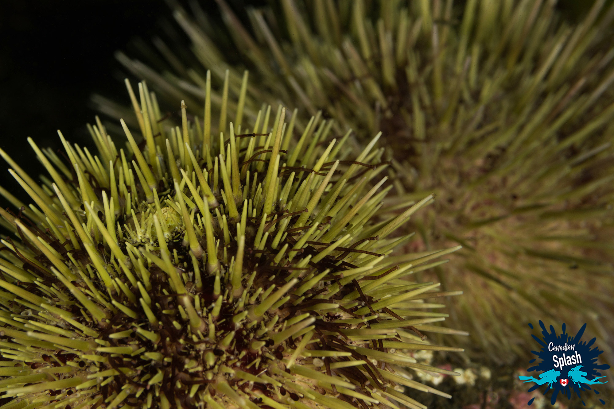 The Pointy Spikes Of A Green Sea Urchin, Atlantic Canada Tide Pool Species