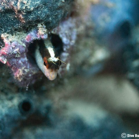 The Sneaky Head Of A Blenny Poking Out Of A Sponge Underwater In Albania, Europe's Balkan Country