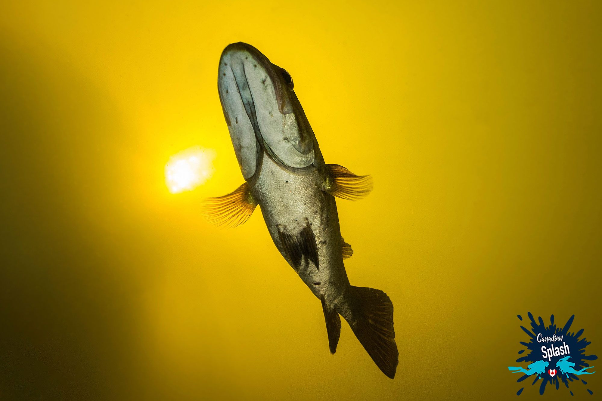 The Underside Of A Largemouth Bass Scuba Diving In Mattawa, Ontario Diving