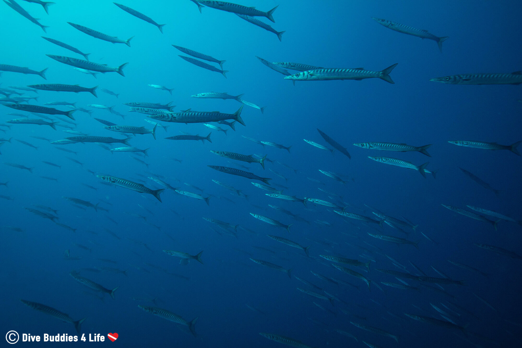 Thousands Of Barracuda Swimming In The Blue Waters Off The Amalfi Coast Of Italy, Europe