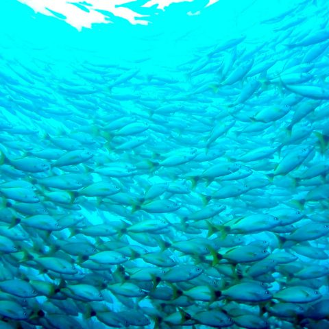 A Tornado of Fish Surrounding a Scuba Diver at Bat Islands