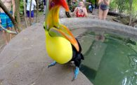 The Costa Rican Toucan Attacking the Camera