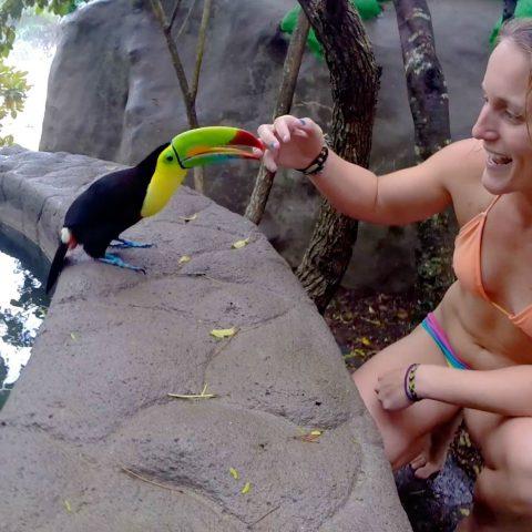 A Costa Rican Toucan Bitting Ali