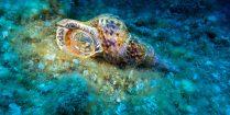 Triton Snail From A Dive On Zakynthos Island, Greece