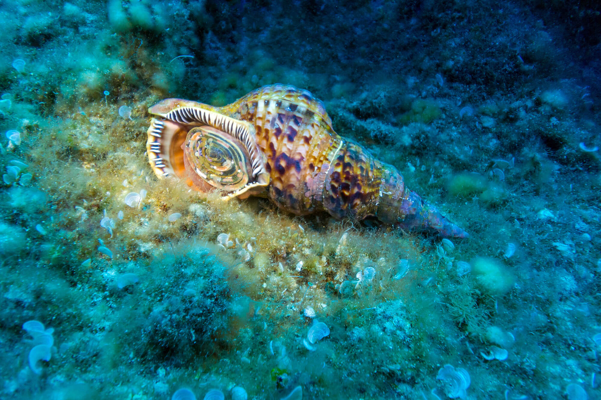 Triton Snail From A Dive On Zakynthos Island, Greece