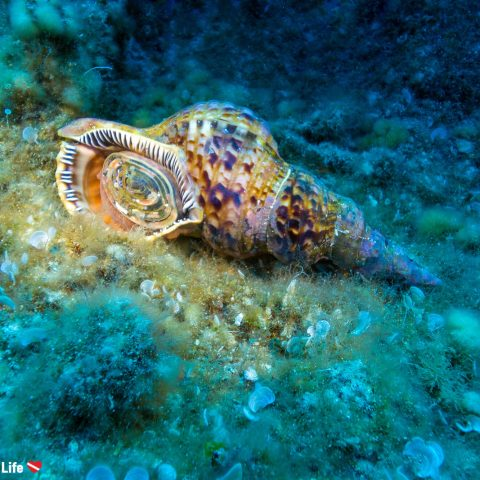 Triton Snail From A Dive On Zakynthos Island, Greece With Watermark