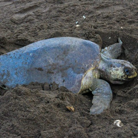 Turtle Covering a Nest