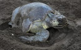 Turtle Digging