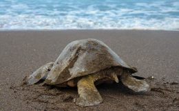 Turtle Heading for the Sea