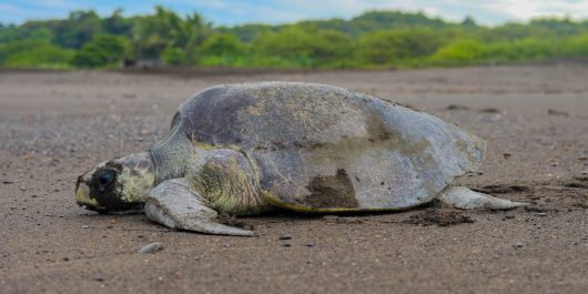 Sea Turtle Side Profile Nesting on the Beaches of Ostional, Costa Rica, Central America