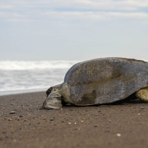 Turtle with Waves in Background