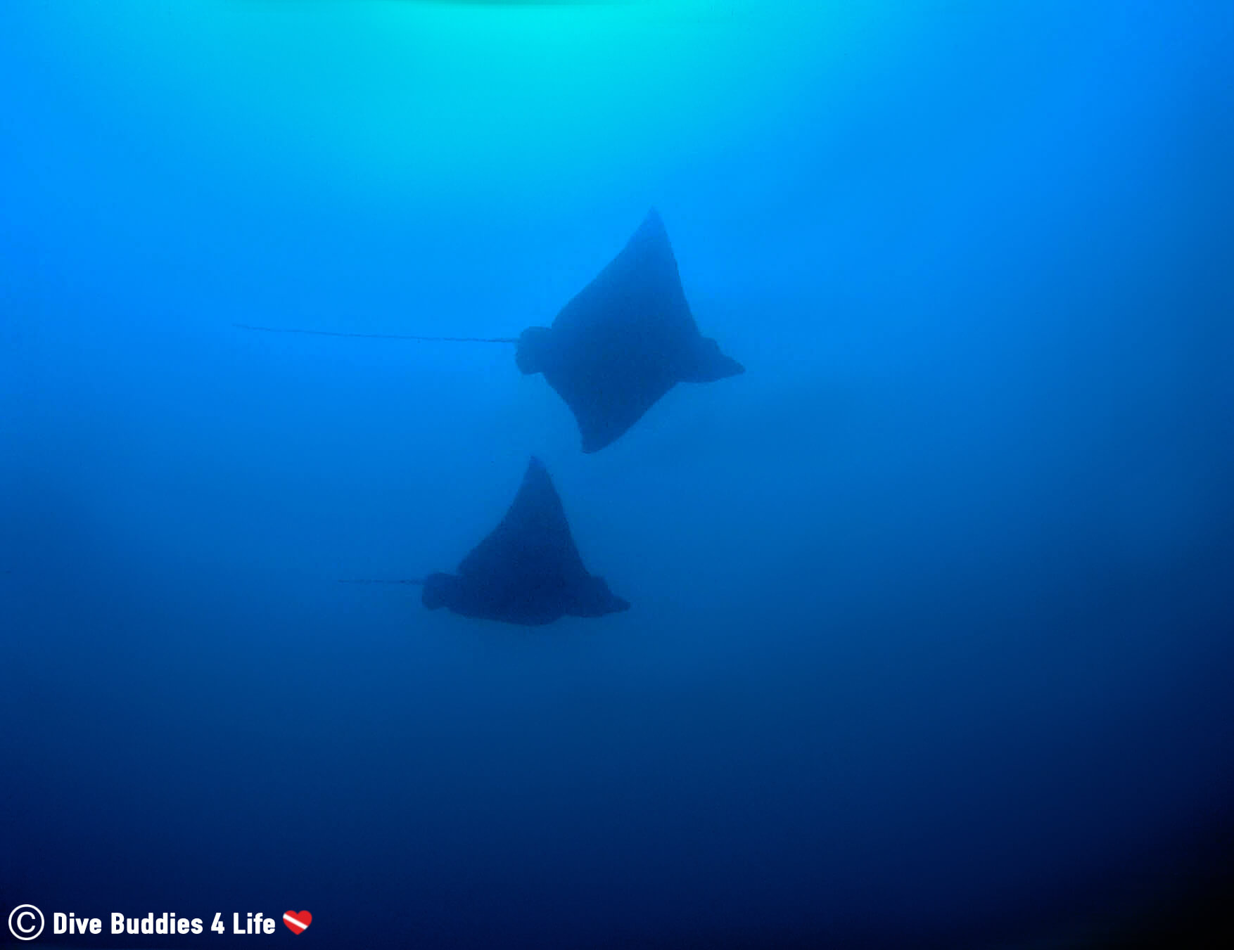 Two Eagle Rays Flying Side By Side In The Pacific Ocean Of Bat Island, Costa Rica