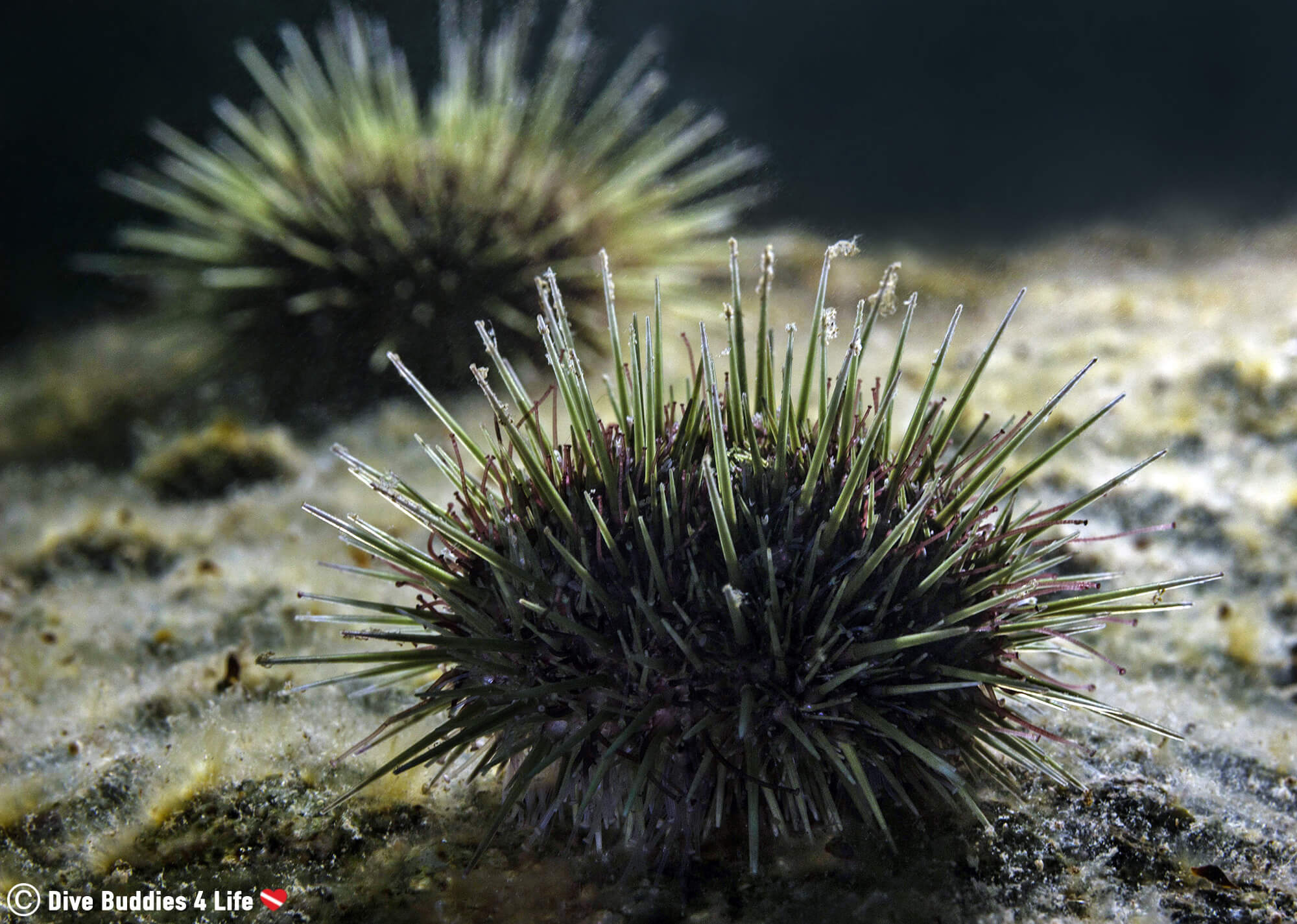Two Green Sea Urchins On The Rocky Bottom Of Newfoundland, Scuba Diving In Canada